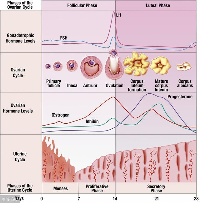 Phases of the ovarian cycle.