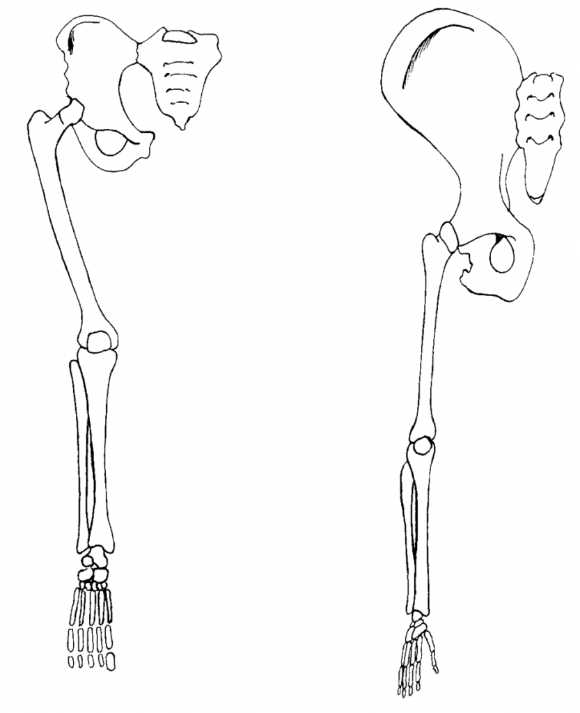 Chimpanzee and human thigh and pelvis structure.
