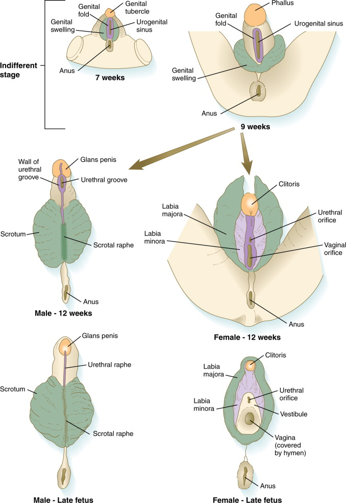 An anatomical diagram of the development of fetal genitals.