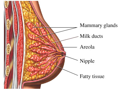 An anatomical diagram of a breast, showing the mammary glands, milk ducts, areola, nipple, and fatty tissue.