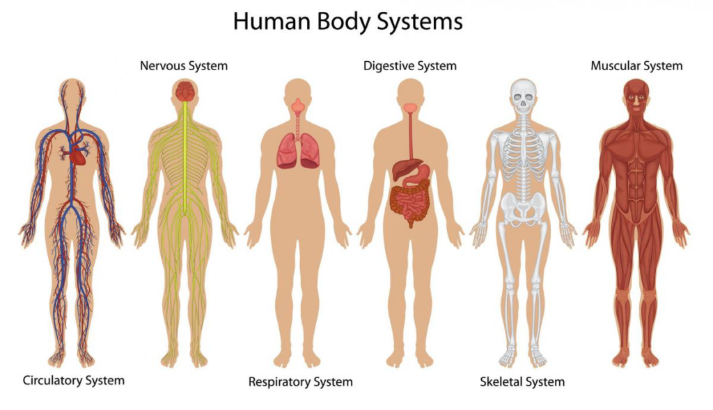 A diagram of human body systems, presenting the nervous, digestive, and muscular systems.