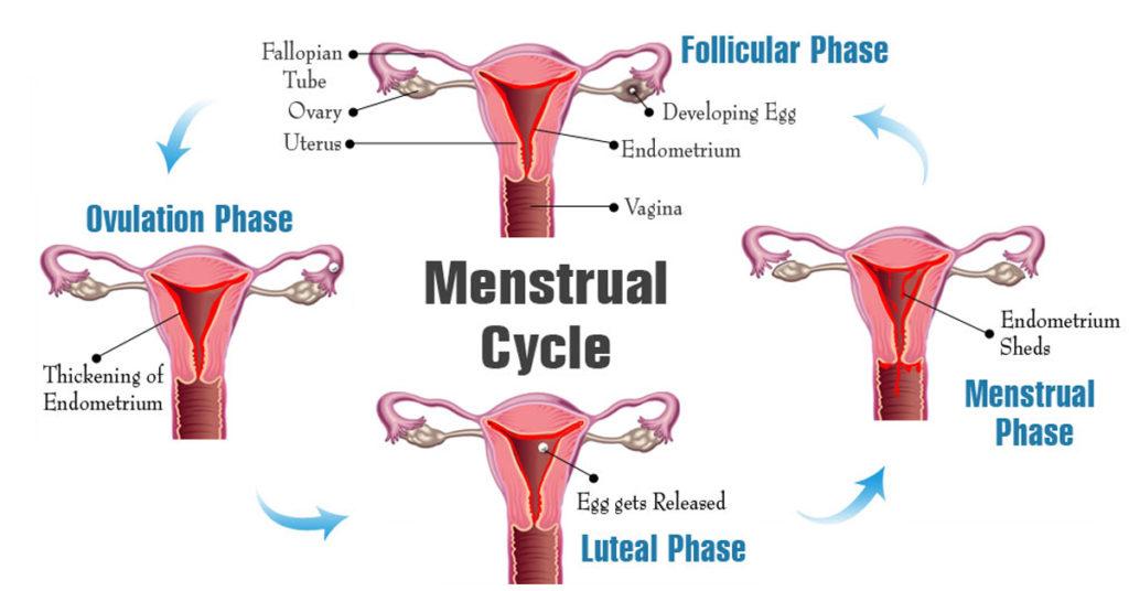 Menstral cycle diagram.