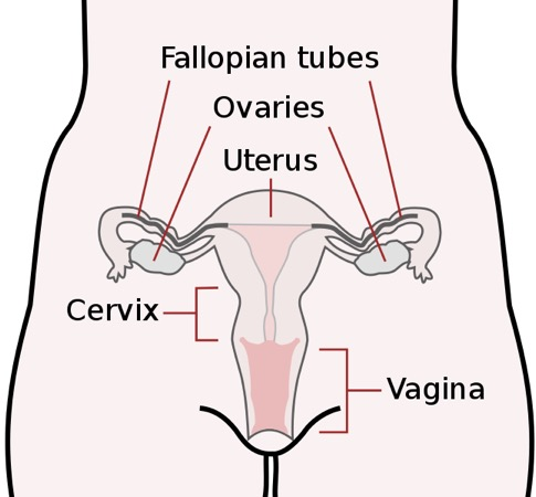 Anatomical diagram of fallopian tubes, ovaries, uterus, cervix, and vagina.