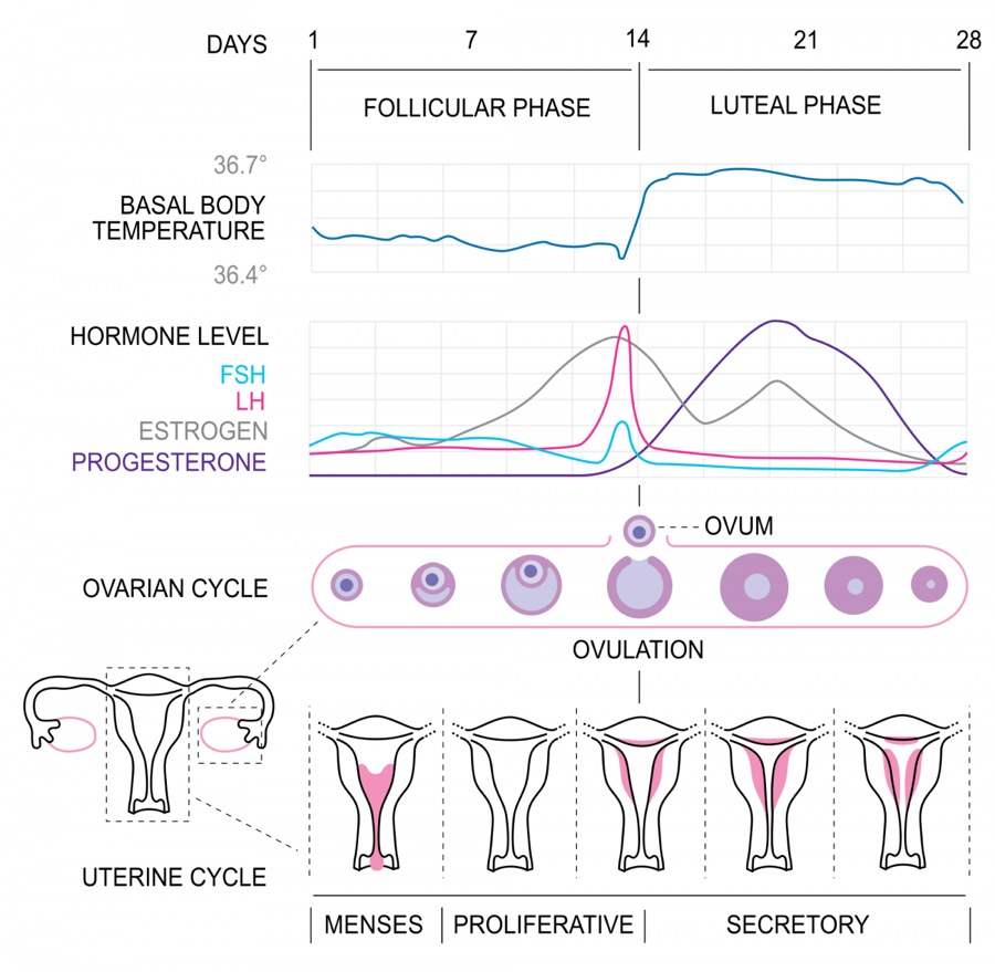 A diagram of the uterine and ovarian cycle.