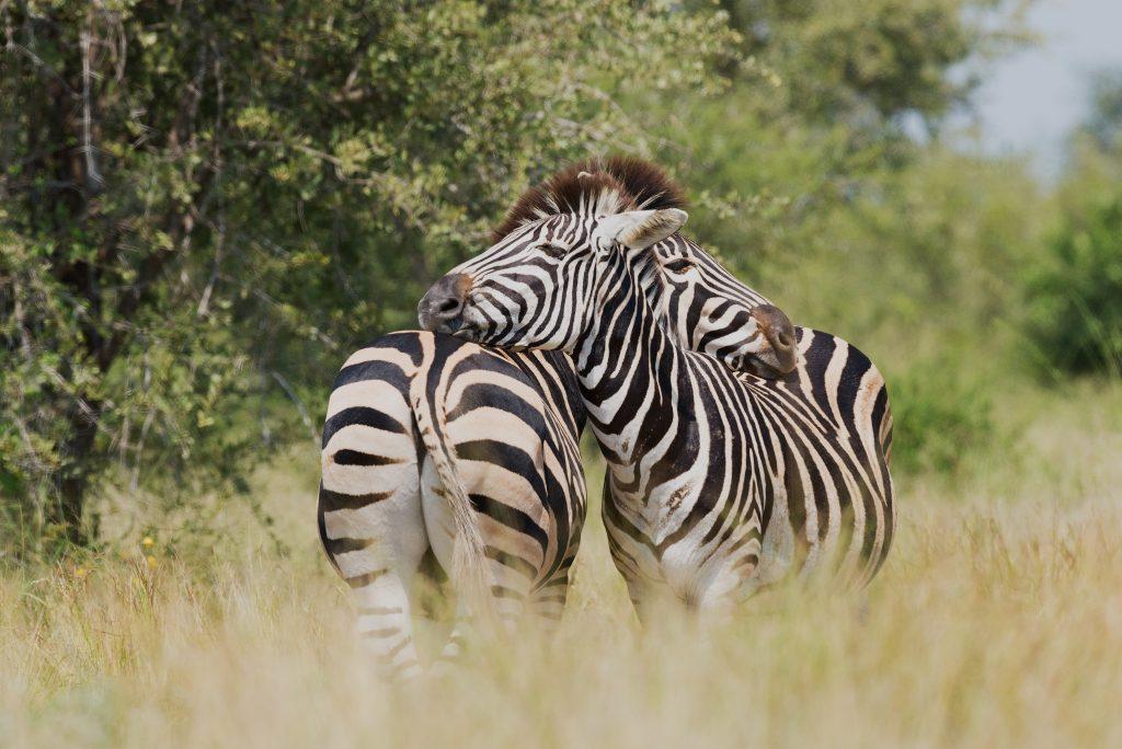 Two zebras hugging.